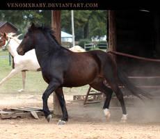 dark bay pony 1 by venomxbaby