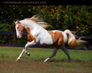 gold champagne stallion 1 by venomxbaby
