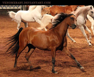 bay andalusian 1 by venomxbaby