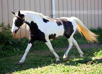 black white tovero 2 by venomxbaby