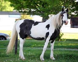 black white tovero paint 4 by venomxbaby