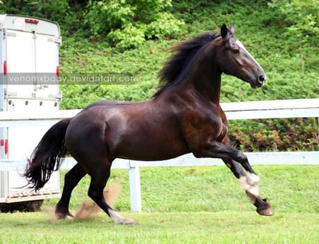 black fresian cross mare 1 by venomxbaby