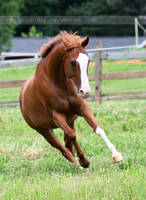 chestnut horse with blaze 1 by venomxbaby