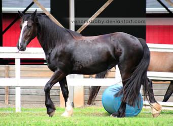 black horse fresian cross 2 by venomxbaby