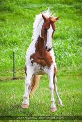 chestnut tovero paint horse 5 by venomxbaby