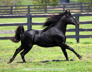 black stallion 8 by venomxbaby
