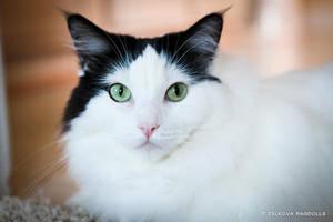 solid ragdoll with green eyes by venomxbaby