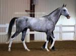 gray akhal-teke stallion 1 by venomxbaby