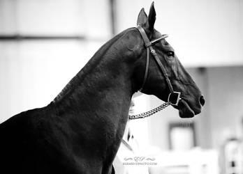 black akhal-teke stallion by venomxbaby