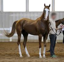 chestnut akhal-teke stallion 1 by venomxbaby