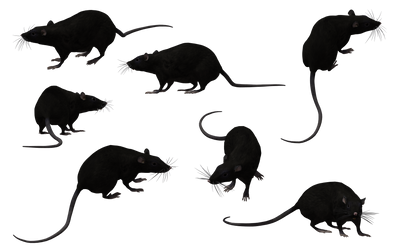 Black Rat Set 12 by Free-Stock-By-Wayne