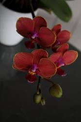 Pretty Orchids by darthblueash