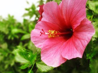 PinkFlower by ReiraHeilig