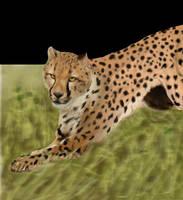 Persian cheetah 2 by cheetahsintheearth