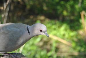 Collared dove I by cheetahsintheearth