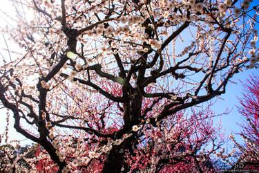 Cherry Blossom by JoLuffiroSauce