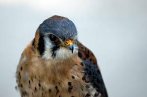 Falcon by KennBaker