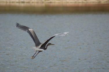 Great Blue Heron by KennBaker