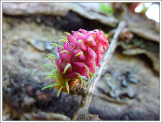 Larch Fruit by regansart