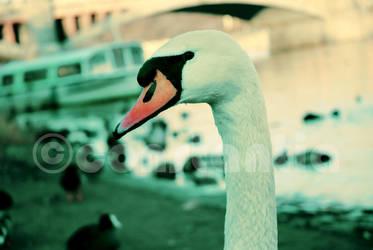 swan by constantia