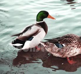 duck by constantia