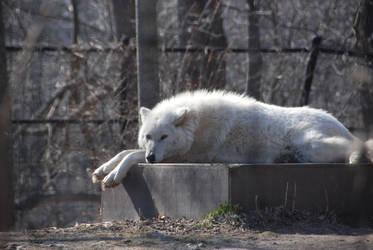 Wolf1 by Jezhawk-stock