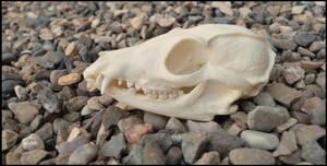 Bat-eared Fox Skull by Lupen202