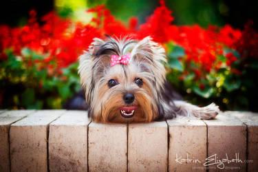 Yorkshire Terrier by Katrin-Elizabeth