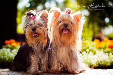 Yorkshire Terrier 4 by Katrin-Elizabeth
