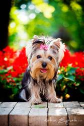 Yorkshire Terrier 6 by Katrin-Elizabeth