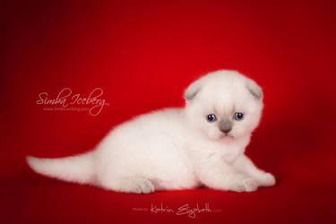 Cute scottish fold kitten by Katrin-Elizabeth