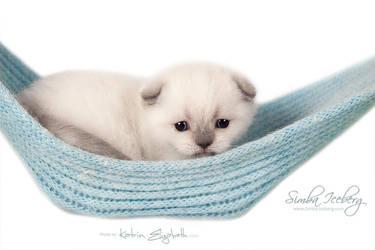 Scottish Fold kitten in a hammock by Katrin-Elizabeth