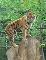 Tiger 1 by B-SquaredStock