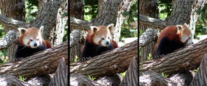 Animals - Red Panda 1 by MoonsongStock