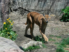 Animals - Caracal 1 by MoonsongStock