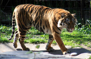 Animals - Tiger 1 by MoonsongStock