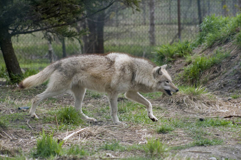Animals - Grey Wolf 3 by MoonsongStock