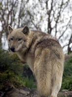 Animals - Grey Wolf 4 by MoonsongStock