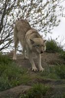 Animals - Grey Wolf 6 by MoonsongStock