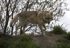 Animals - Grey Wolf 7 by MoonsongStock