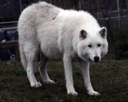 Animals - Arctic Wolf 5 by MoonsongStock