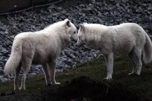 Animals - Arctic Wolf 6 by MoonsongStock