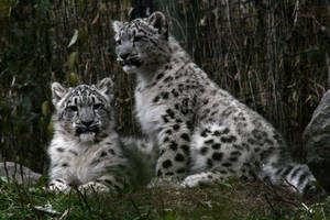 Animals - Snow Leopard 4 by MoonsongStock
