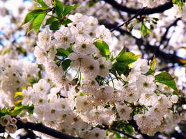 Cherry Blossom 3 by Aivaseda