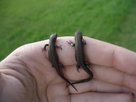 lizards by majava