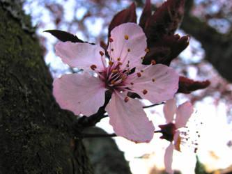 Cherryblossom Bloom by SkyfireDragon