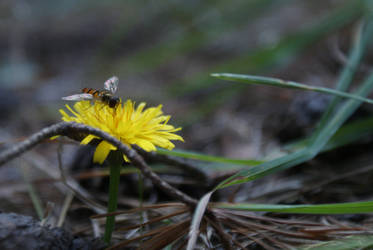 Insect on dandelion by elgregorPL
