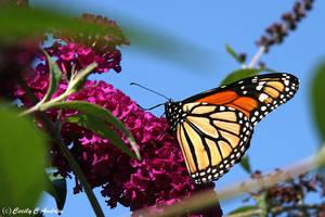 Monarch Enjoys Butterfly Bush by CecilyAndreuArtwork