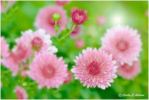 Chrysanthemum chorus by CecilyAndreuArtwork
