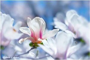 White Saucer Magnolia by CecilyAndreuArtwork